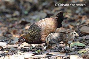 セキショクヤケイ(雌と雛/タイの熱帯雨林で撮影)